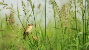 Rutland Nature Reserve, Sedge Warbler