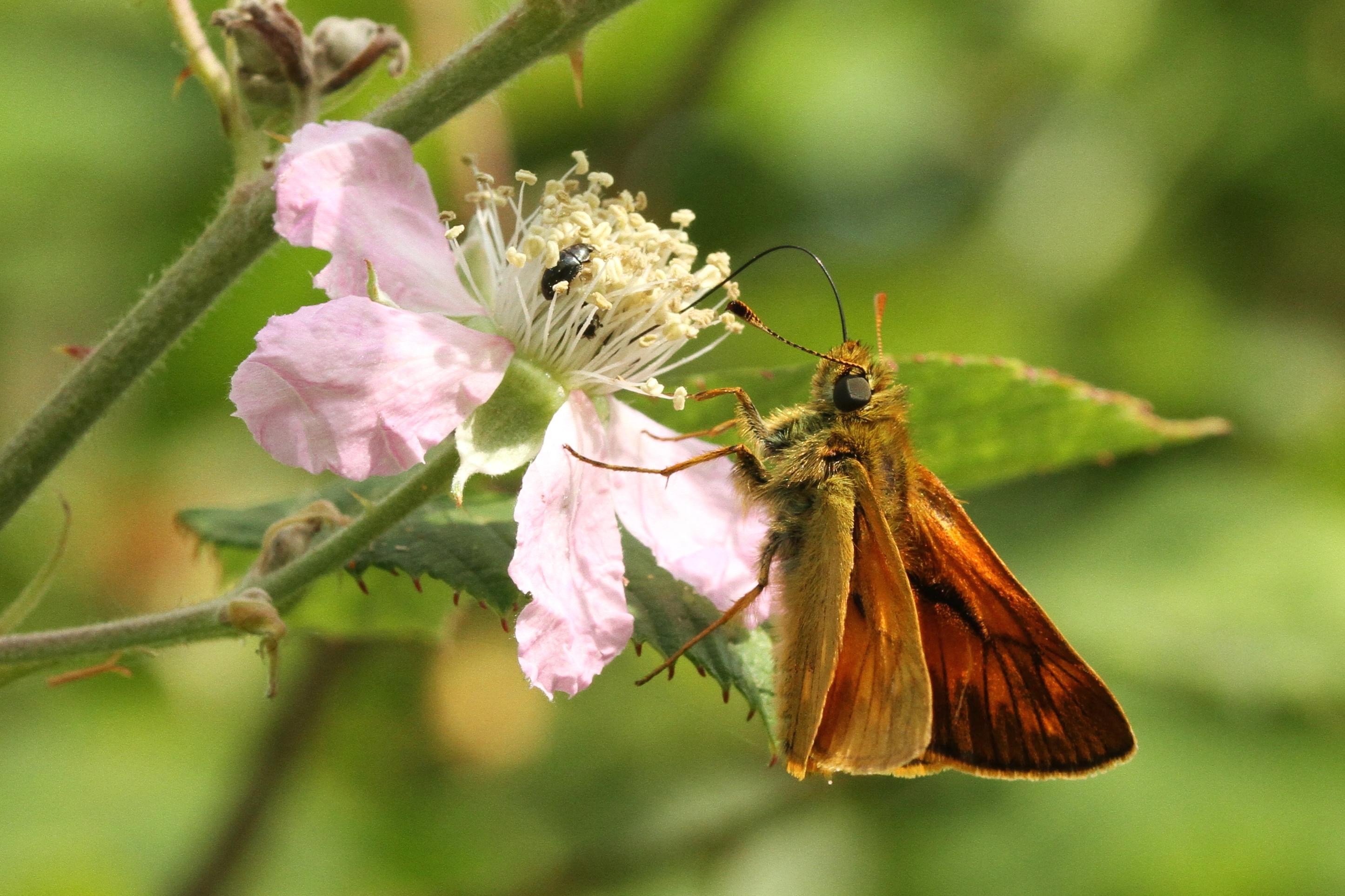 Rutland Nature Reserve, skipper butterfly